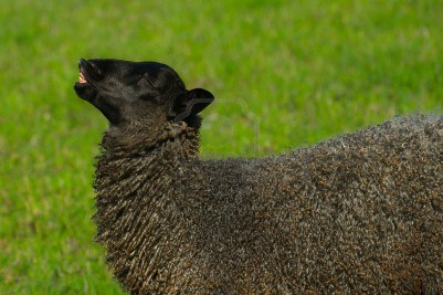 "a Gotland sheep on ""Bergman's island"""